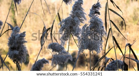 phragmites (common reed) next to the river during winter time.