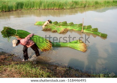 PHU YEN, VIET NAM, April 16, 2016 farmers Phu Yen, central Vietnam. harvest Seagrass