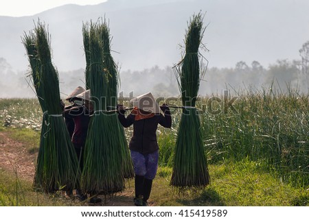 PHU YEN, Vietnam, August 27, 2015 farmers Phu Yen Province, Vietnam, harvesting papyrus