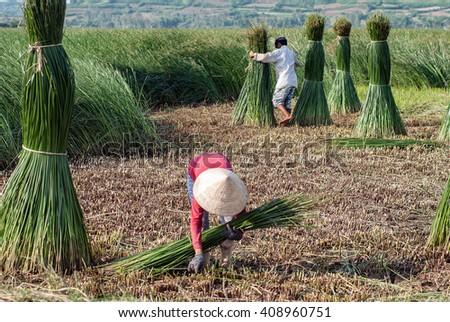 PHU YEN, Vietnam, August 22, 2015 Phu Yen Province FG, central Vietnam, harvesting papyrus