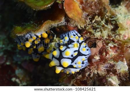 Phyllidia varicosa - stock photo