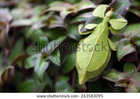 Phyllium giganteum, leaf insect - stock photo