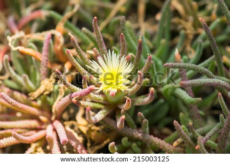 Phyllobolus amabilis, AIZOACEAE, South Africa  - stock photo