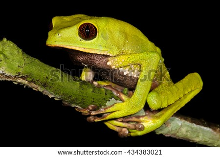 Phyllomedusa tarsius, the tarsier leaf frog, is a species of frog in the Hylidae family. It is found in Brazil, Colombia, Ecuador, Peru, and Venezuela, and possibly Bolivia and Guyana. - stock photo