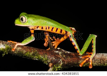 Phyllomedusa tomopterna, the barred leaf frog or tiger leg monkey tree frog is a species of frog in the Hylidae family. It is found in Bolivia, Brazil, Colombia, Ecuador, French Guiana, Guyana, Peru. - stock photo