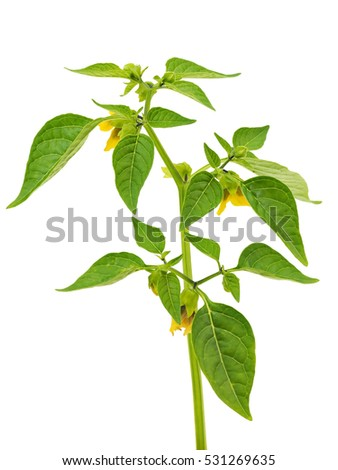 Physalis branch on a white background