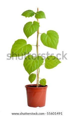 Physalis plant isolated on white - stock photo