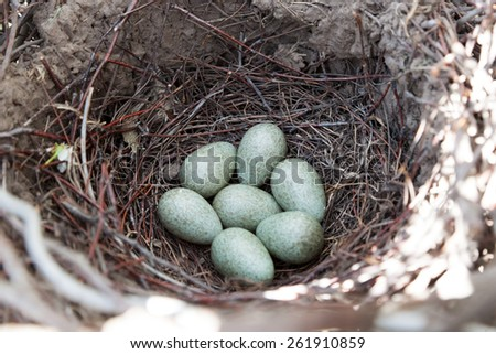 Pica pica. The nest of the Magpie in nature. - stock photo