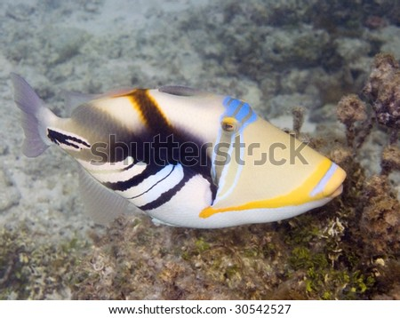 Picasso triggerfish in Tikehau - stock photo