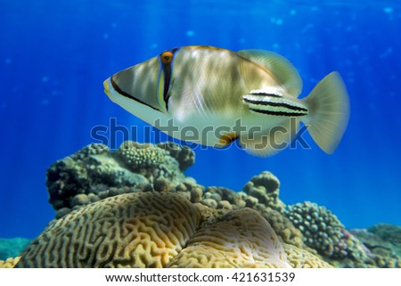 Picasso triggerfish (Rhinecanthus aculeatus)  with coral reef - Red Sea