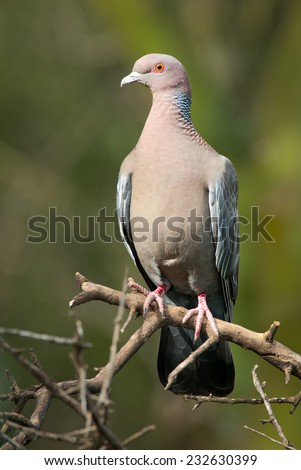 Picazuro Pigeon (Patagioenas picazuro) perched on a dead branch. Patagonia, Argentina, South America. - stock photo
