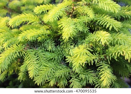 Picea in the garden