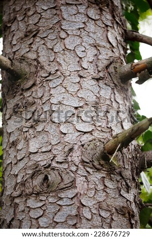 Picea orientalis - details and texture from tree bark - stock photo