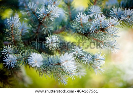 Picea pungens - stock photo