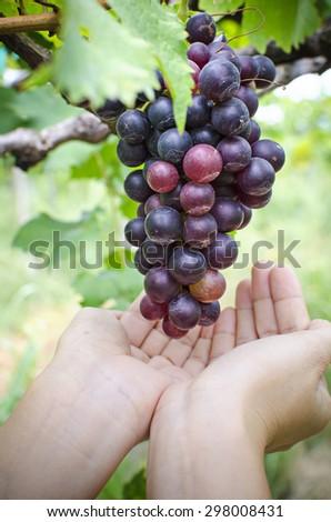 Pick up ripe red grape - stock photo