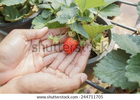 picked fresh organic strawberry with green leaves in the garden - stock photo
