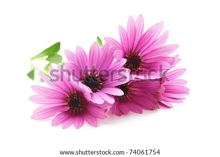 Picked purple daisy flowers,Isolated on white background. - stock photo