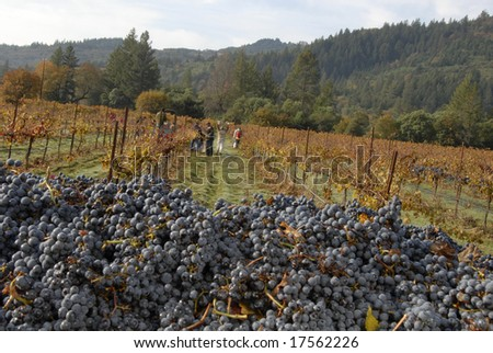 Picked Wine Grapes, Mendocino County, California - stock photo