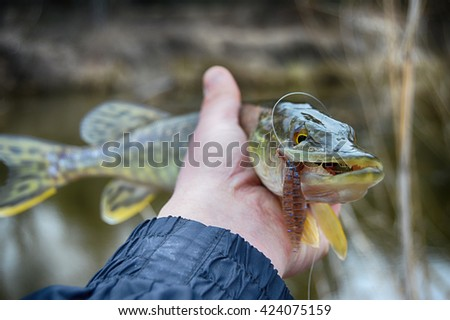Pickerel (pike fish) in hand with the soft bait in jaws. Fishing on wild river, lake.  - stock photo