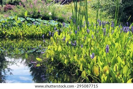 Pickerelweed (Pontederia cordata) in a pond - stock photo