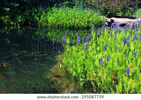 Pickerelweed (Pontederia cordata) in a pond - stock photo