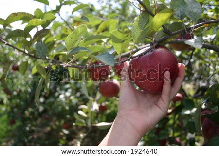 picking apple in orchard