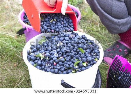 Picking Bush whortleberries, vaccinium corymbosum