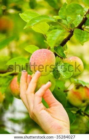Picking Fresh Apple - stock photo