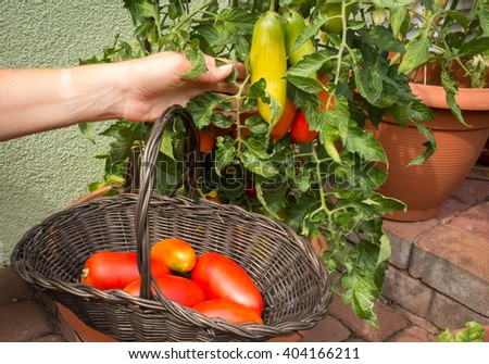 Picking homegrown tomatoes  in pots on a home terrace - stock photo
