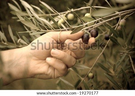 Picking olives by hand. Toned image. - stock photo