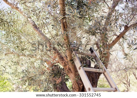 Picking olives in the garden with metal stairs near a tree. Horizontal photo