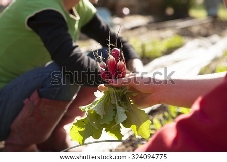 Picking Radishes - stock photo