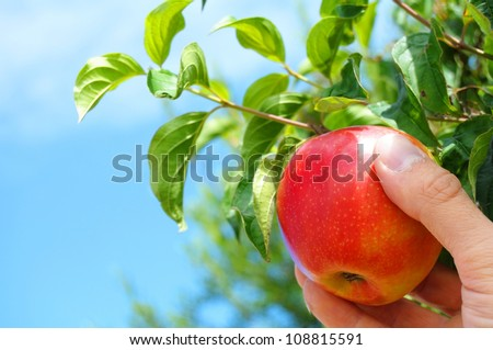 picking red apple from a tree in summer - stock photo