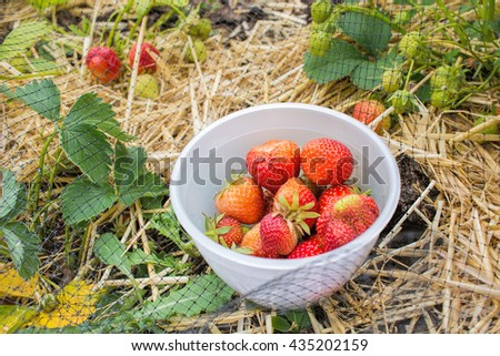 Picking strawberries, home grown fruit and vegetable garden. - stock photo