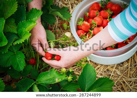 picking strawberries in field  - stock photo