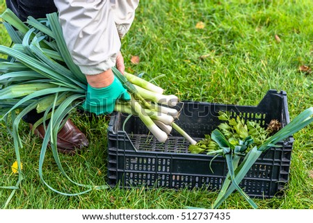 Picking vegetables, garden work in autumn, gardening and fall harvest