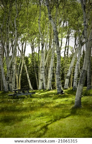 Picnic bench sits on lawn under canopy of birch trees - stock photo