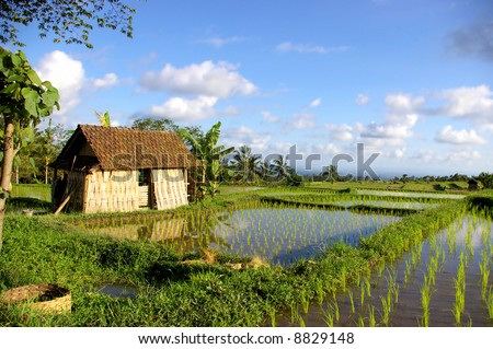pictorial scene of balinese rice fields and hut