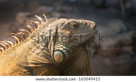Picture a large green iguana, closeup - stock photo