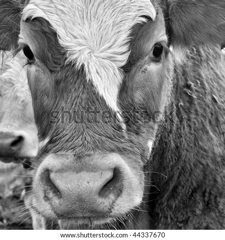 picture close up portrait of a cow - stock photo