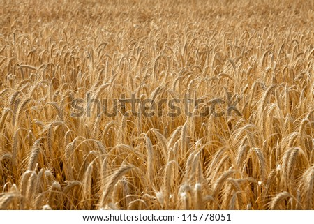 Picture fill with a wheat field