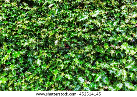 picture for background textures from green holly leaves