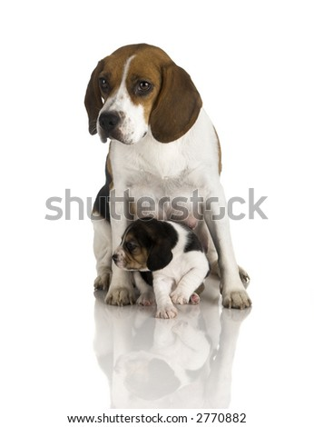 Picture of a Beagle mom protecting is son - stock photo