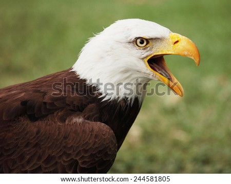 picture of a beautiful and wild bald eagle