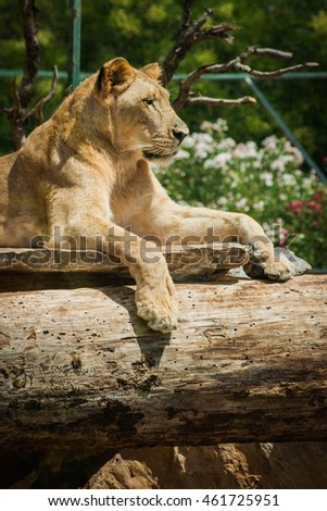 Picture of a beautiful lioness lying on a log