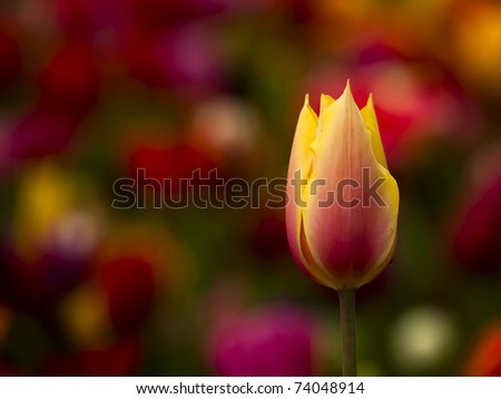 Picture of a beautiful tulip on shallow deep of field - stock photo