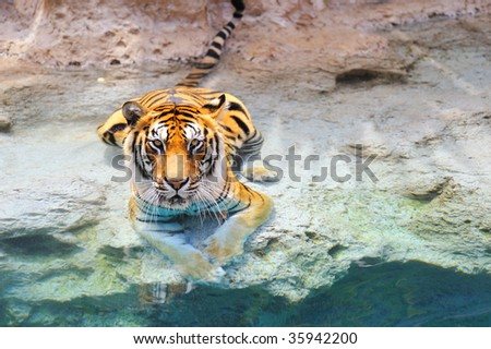 Picture of a bengal tiger near the water