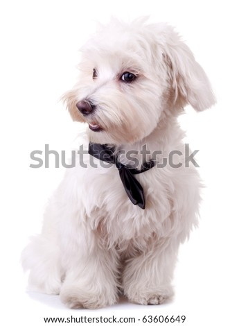 picture of a bichon maltese wearing a black neck bow