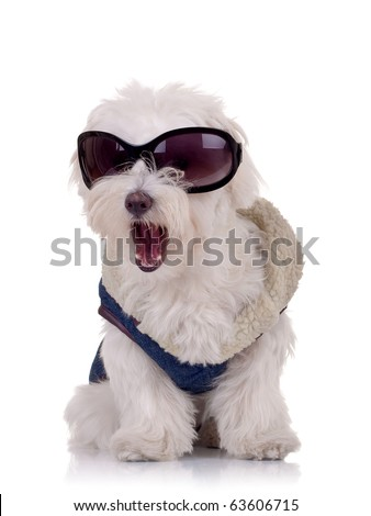 picture of a bichon maltese wearing clothes and sunglasses and keeping it's mouth open - stock photo