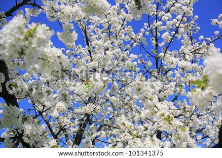 Picture of a blossoming cherry tree - stock photo